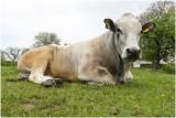 de Stier - the bull