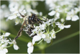 Fluitenkruidbij - Andrena proxima