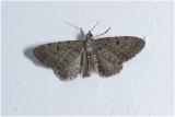gewone Dwergspanner  - Eupithecia vulgata