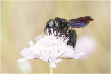 blauwzwarte Houtbij - Xylocopa violacea