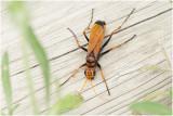 Spinnendoder - Cryptocheilus alternatus