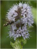zilveren Blaaskopvlieg - Conops quadrifasciatus