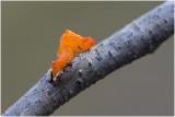 Gele Trilzwam - Tremella mesenterica