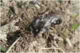 Asbij - Andrena cineraria
