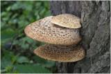 Zadelzwam - Polyporus squamosus