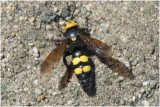 Dolkwesp - Scolia hirta - vrouwtje - female