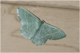Zomervlinder - Geometra papilionaria