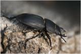 Klein Vliegend Hert - Dorcus parallelipipedus