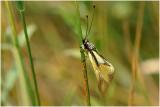 Ascalaphus libelluloides - - Vlinderhaft