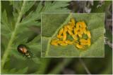 groen Zuringhaantje - Gastrophysa viridula