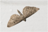 Streepjesdwergspanner - Eupithecia intricata
