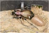 Halsbandloopkever - Carabus monilis