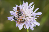 Knautiabijen - Andrena hattorfiana