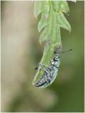 groene Bladsnuitkever - Phyllobius soort