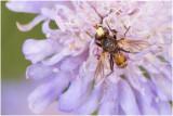 roodbruine Blaaskopvlieg - Sicus ferrugineus