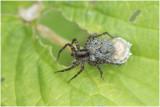 gewone Wolfspin - Pardosa pullata
