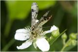 gewone Schorpioenvlieg - Panorpa communis