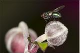 groene Vleesvlieg - Lucilia sericata