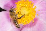 Honingbij - Apis mellifera
