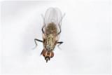 Bloemvliegensoort - Botanophila fugax