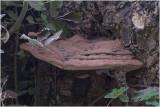 platte Tonderzwam - Ganoderma lipsiense