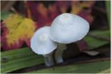 Plooiparasol - Leucocoprinussoort