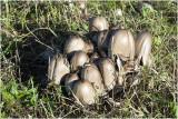 grote kale Inktzwam - Coprinopsis atramentaria