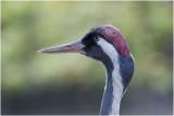 Europese Kraanvogel - Grus grus