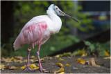 roze Lepelaar - Platalea ajaja
