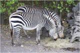 Hartmann Bergzebra - Equus zebra hartmannae