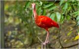 rode Ibis - Eudocimus ruber