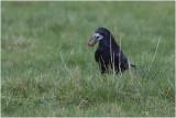 Roek - Corvus frugilegus