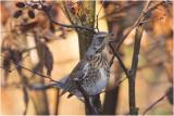 Kramsvogel - Turdus Pilaris