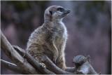 Stokstaartje - Suricata suricatta