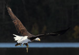 Eagle flying with pike copy.jpg