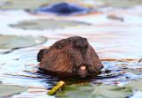 Beaver tongue copy.jpg