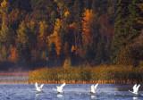Swans and fall scene - Mary Lake copy.jpg