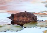 Beaver eye copy.jpg
