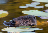 Beaver in the Lily pads copy.jpg