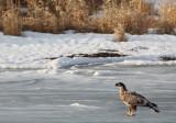 Young eagle on ice II copy.jpg