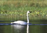 Mary Lake Swan II copy.jpg