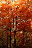 Fire tree copy.jpg