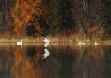 Swan in fall colors-Lake Itasca copy.jpg