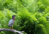 Little Green Heron and ferns copy.jpg