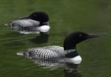 Loon pair Lake Itasca copy.jpg