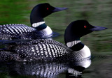 Loon pair on color reflection copy.jpg