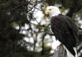 Eagle on perch copy.jpg