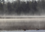 Young loons in the mist copy.jpg