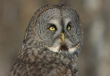 Great Gray Owl Migration 2005