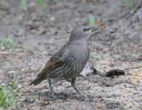 Waxwings, Shrikes, Starlings